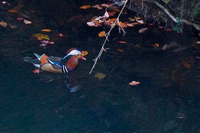 散在ガ池森林公園 最奥で見られたオシドリ♂4  _DSC3137.jpg