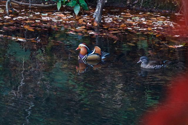 散在ガ池森林公園 番いのオシドリ3 _DSC3321.jpg
