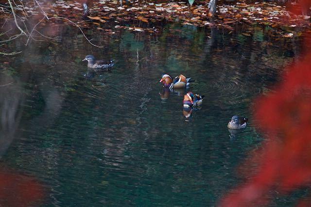 散在ガ池森林公園 2番いのオシドリ _DSC3359.jpg
