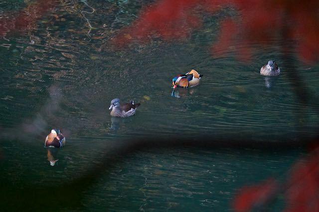 散在ガ池森林公園 2番のオシドリ1 _DSC3279.jpg