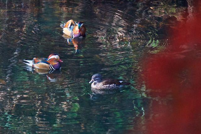 散在ガ池森林公園 3羽のオシドリ2 _DSC3379.jpg