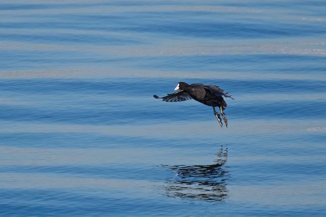 新浦安 沖から飛んで来たオオバン _DSC4012.jpg
