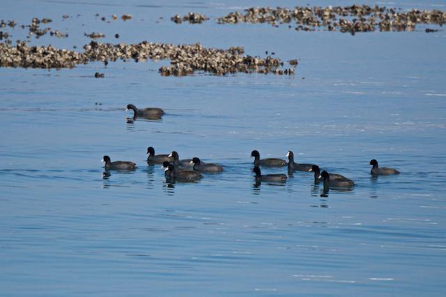 新浦安 浅瀬を群れで移動するオオバン _DSC9052.jpg