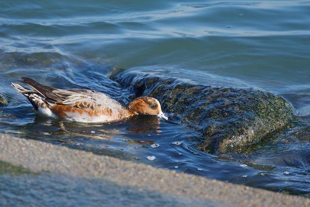 新浦安 海藻を食べるヒドリガモ _DSC4584.jpg