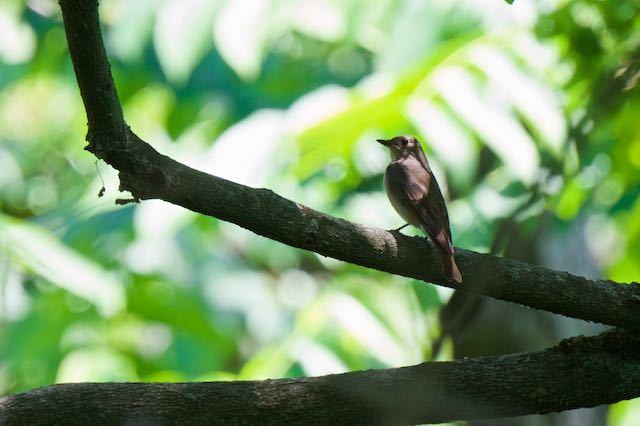 普正寺の森 せせらぎの上流の枝に止まるオオルリ♀2 _DSC6115.jpg