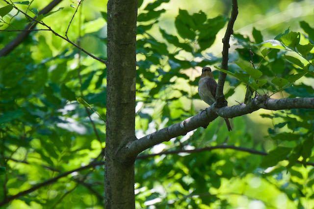 普正寺の森 せせらぎの下流の枝に止まるオオルリ♀1 _DSC6084.jpg