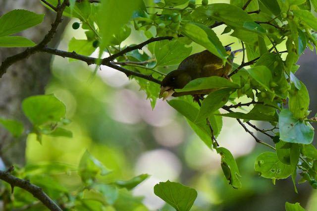 普正寺の森 木の実を食べるカワラヒワ _DSC6145.jpg