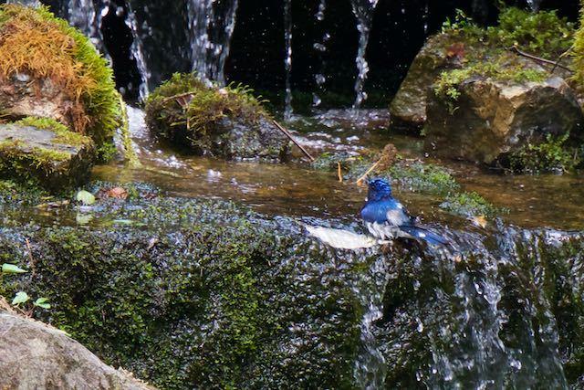 普正寺の森 水浴びするオオルリ♂ _DSC5234.jpg