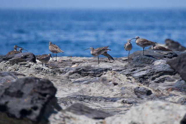毘沙門海岸 チュウシャクシギの群れ _DSC7350.jpg