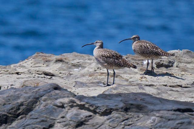 毘沙門海岸 2羽のチュウシャクシギ _DSC7366.jpg