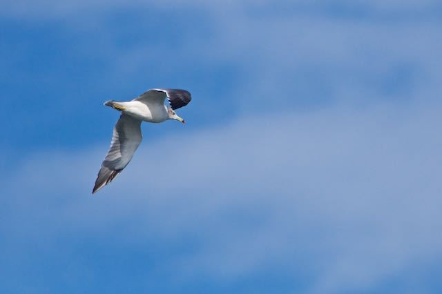 江の島 ウミネコ飛翔 _DSC5275.jpg