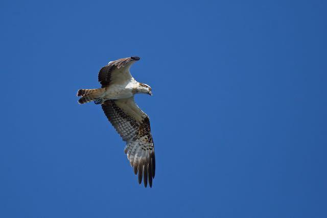 江の島 ミサゴ飛翔 _DSC2056.jpg