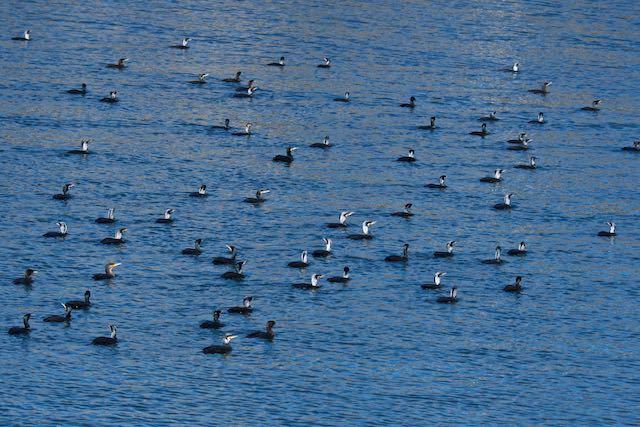 江の島 境川のカワウの群れ _DSC5432.jpg