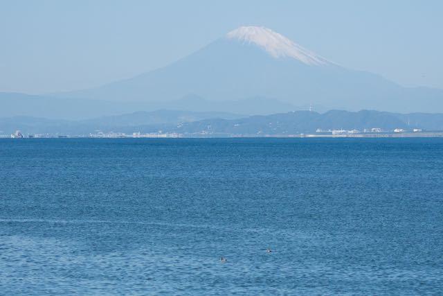 江の島 富士山とヒドリガモ2羽 _DSC7692.jpg