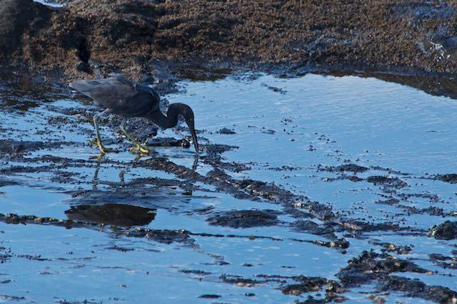 江の島 小さな獲物を食べるクロサギ _DSC5425.jpg
