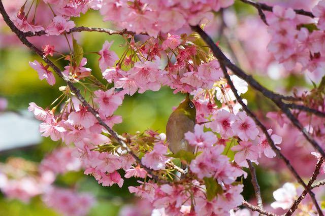 江の島 河津桜を吸蜜するメジロ1 _DSC5231.jpg