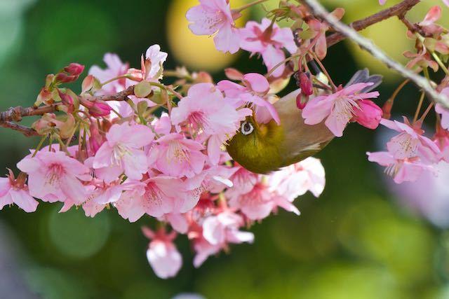 江の島 河津桜を吸蜜するメジロ3 _DSC5418.jpg
