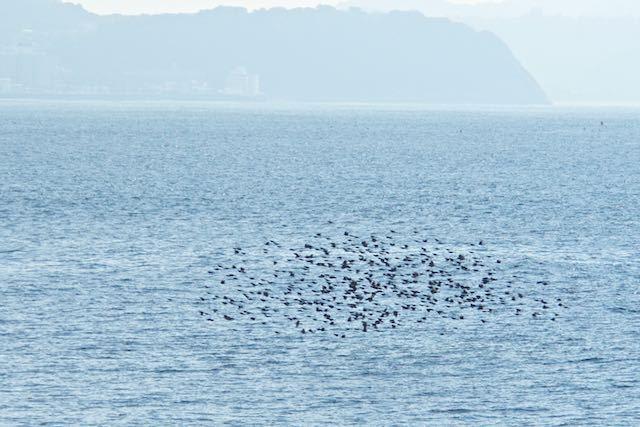 江の島 海に出ると海面近くを飛ぶヒヨドリ _DSC5409.jpg