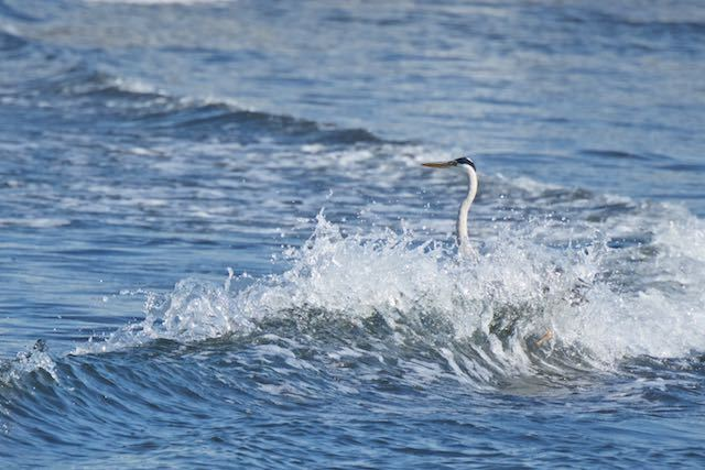 江の島 海中に佇むアオサギ _DSC2038.jpg