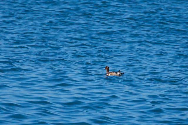 江の島 2羽見られたヒドリガモ _DSC7699.jpg