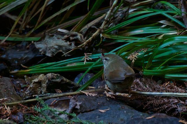 瀬上市民の森 せせらぎで採食していたウグイス _DSC5930.jpg