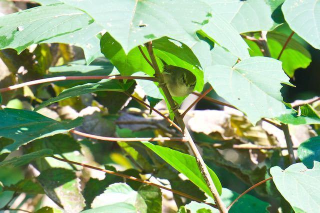 瀬上市民の森 アカメガシワの幼木に止まるウグイス _DSC9493.jpg