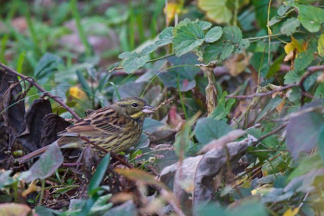瀬上市民の森 イヌタデを採食するアオジ _DSC9470.jpg