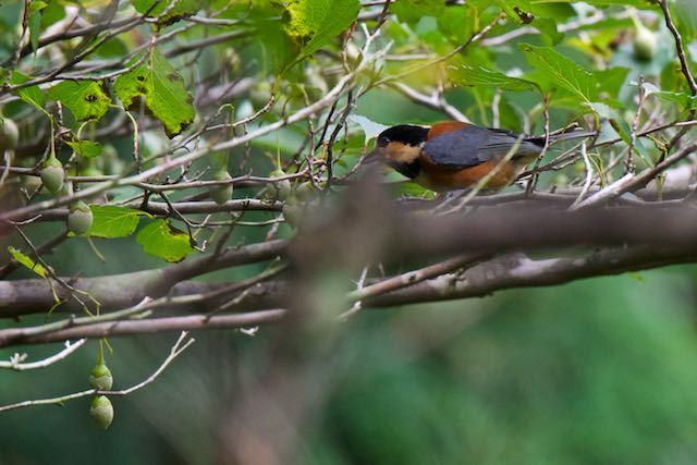 瀬上市民の森 エゴノキの実を取りに来たヤマガラ _DSC3407.jpg