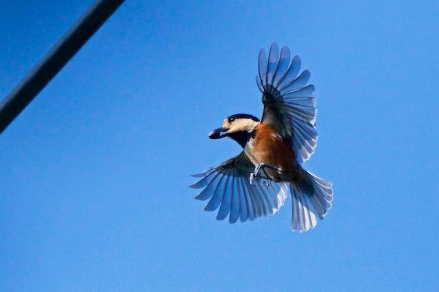 瀬上市民の森 エゴノキの実を咥えて飛ぶヤマガラ _DSC5566.jpg