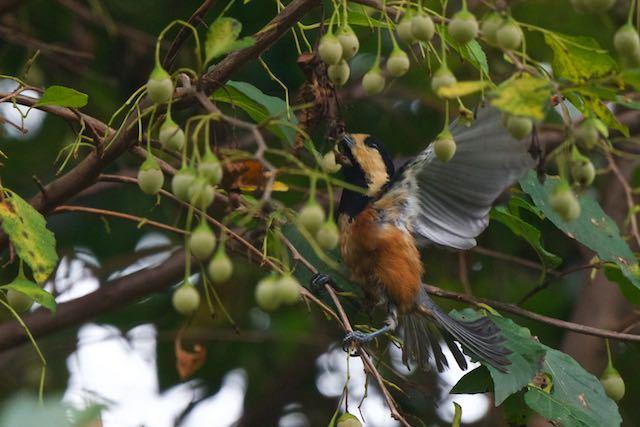 瀬上市民の森 エゴノキの実を咥えて飛ぶヤマガラ3 _DSC3724.jpg