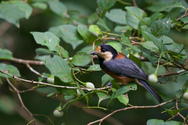 瀬上市民の森 エゴノキの実を食べに来たヤマガラ _DSC0895.jpg