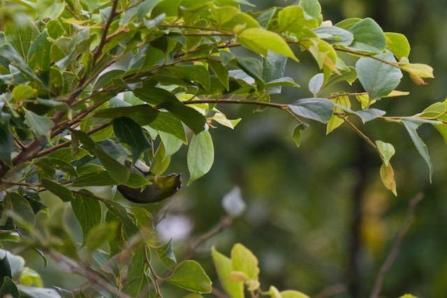 瀬上市民の森 エノキで採食していたメジロ _DSC0758.jpg