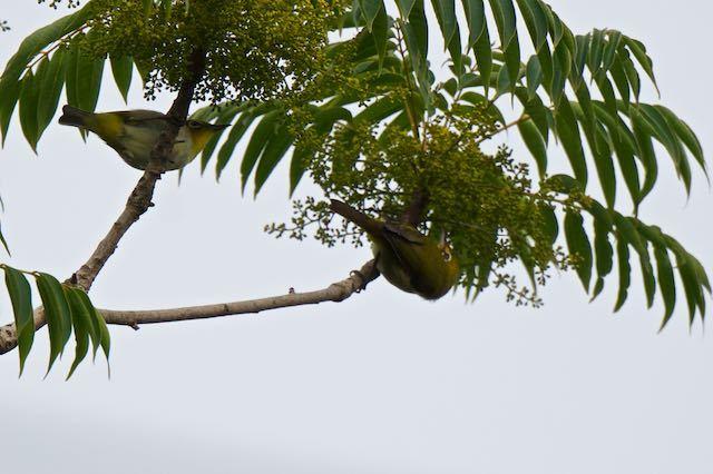 瀬上市民の森 カラスザンショウに5羽のメジロ  _DSC7494.jpg