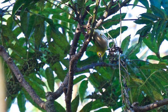瀬上市民の森 カラスザンショウを採食するメジロ _DSC9897.jpg