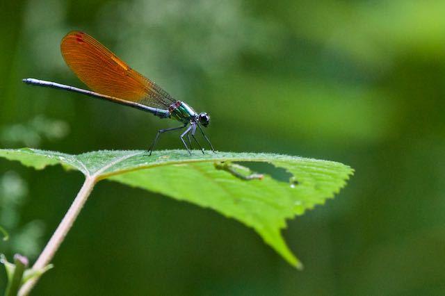 瀬上市民の森 カワトンボが止まる葉裏に幼虫 _DSC7695.jpg
