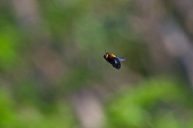 瀬上市民の森 クマバチの飛行 _DSC2924.jpg
