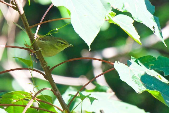 瀬上市民の森 シジュウカラ、メジロと混群見られたウグイス _DSC9497.jpg