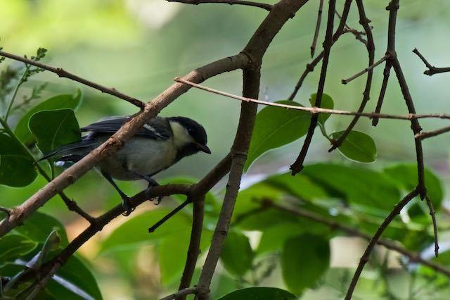 瀬上市民の森 シジュウカラ幼鳥 _DSC4859.jpg