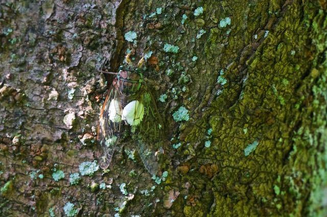 瀬上市民の森 セミヤドリガの幼虫に寄生されたヒグラシ _DSC9818.jpg