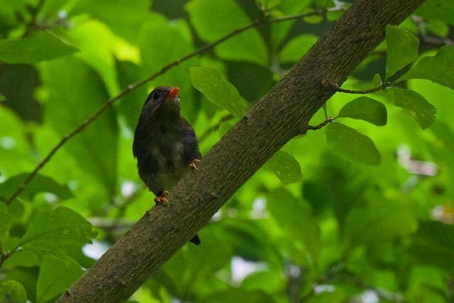 瀬上市民の森 ソウシチョウ幼鳥2 _DSC9153.jpg