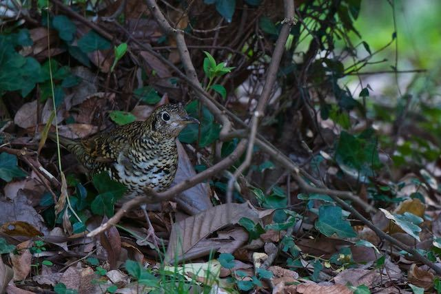 瀬上市民の森 トラツグミ2 _DSC6335.jpg
