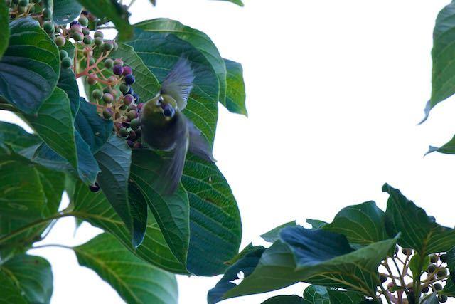 瀬上市民の森 ミズキの実を咥えて飛んで行くメジロ _DSC1852.jpg