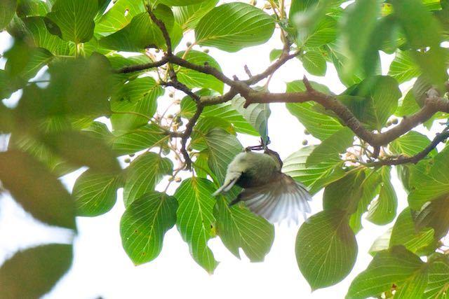 瀬上市民の森 ミズキの葉にぶら下がり採食するシジュウカラ幼鳥 _DSC0866.jpg