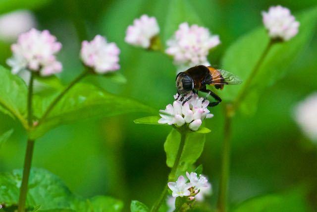 瀬上市民の森 ミゾソバを吸蜜するオオハナアブ _DSC5737.jpg
