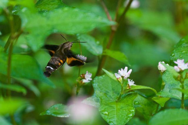 瀬上市民の森 ミゾソバを吸蜜するホシホウジャク _DSC5576.jpg