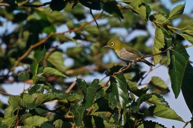 瀬上市民の森 メジロは2羽で見られた _DSC0152.jpg