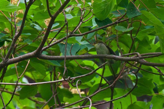 瀬上市民の森 メジロ幼鳥 _DSC9047.jpg