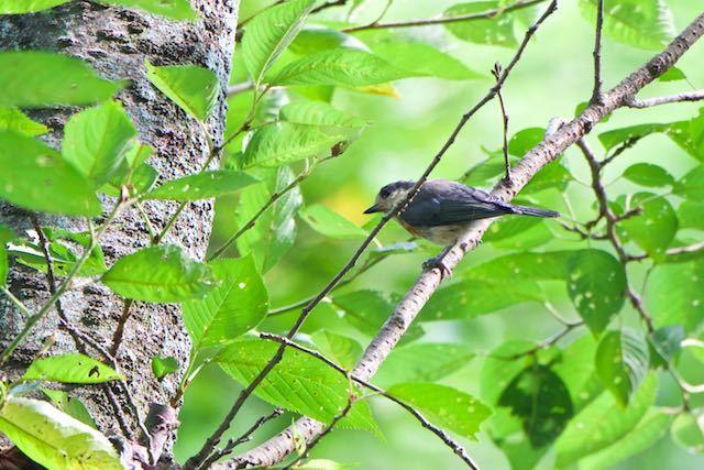 瀬上市民の森 ヤマガラ幼鳥1 _DSC8698.jpg