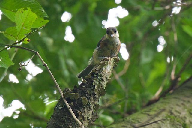 瀬上市民の森 ヤマガラ幼鳥2 _DSC8708.jpg