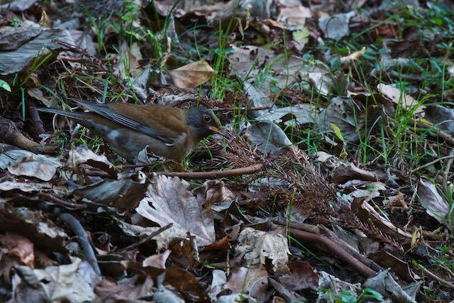 瀬上市民の森 ルリビタキの近くで採食していたシロハラ♂1 _DSC6722.jpg